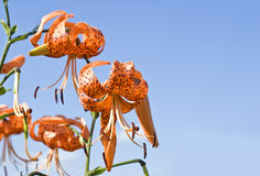 Orange Color Lilies Against the Blue Sky Royalty Free Stock Image