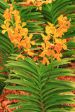 Orange color orchid plant Royalty Free Stock Photo