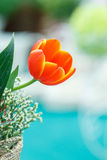 Orange color tulip Stock Image