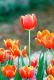 Orange color tulip flower Stock Photo