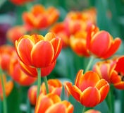 Orange color tulip flower Royalty Free Stock Photo