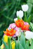 Orange color tulip flower Royalty Free Stock Photo