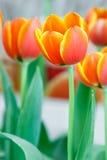 Orange color tulip flower Royalty Free Stock Photos