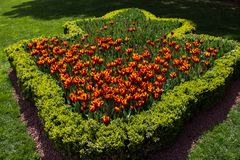 Orange color tulip flowers in the garden. Orange color tulip flowers bloom in the garden royalty free stock images