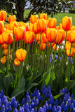 Orange color tulip flowers in the garden Royalty Free Stock Images