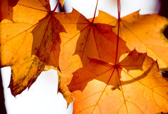 Orange colored autumn foliage Stock Image