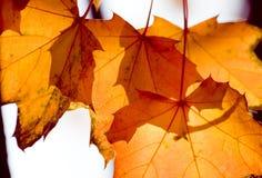 Orange colored autumn foliage Stock Image
