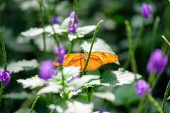 Orange Colored Butterfly. Beautiful orange colorer butterfly sitting on the leaves Royalty Free Stock Images