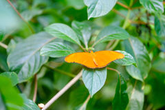 Orange Colored Butterfly. Beautiful orange colorer butterfly sitting on the leaves stock photo
