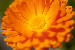 Orange colored flower. At on macro shot Stock Photo
