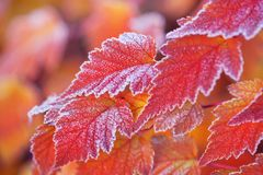 Orange colored frosted leaves of Physocarpus opulifolius diabolo. Orange frosted leaves of Physocarpus opulifolius diabolo nine bark close up in autumn garden Royalty Free Stock Images