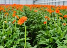 Orange colored Gerbera flowers with a dark heart Stock Photos