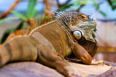 Orange colored Green Iguana resting. Close-up of an orange colored male Green Iguana (Iguana iguana). Natural vivid colors Stock Photography
