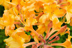 Orange Colored Native Azalea Blooming Royalty Free Stock Images
