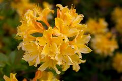 Orange colored rhododendron blooms with dark background royalty free stock image