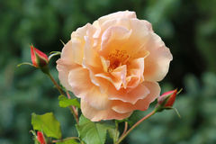 Orange colored rose blossom Royalty Free Stock Image
