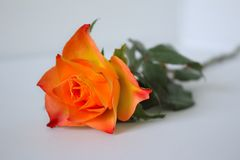 An orange-colored rose and green foliage resting on a white background. Orange-colored rose and green foliage resting on a white background Stock Images