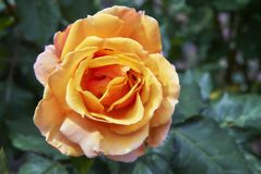 Orange colored rose head at Stanley Park royalty free stock photography