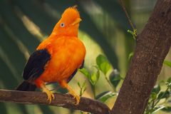 Orange colorful bird, Cotinga, Cock on the rock. South and Central America, Rupicola cotinga Royalty Free Stock Photo
