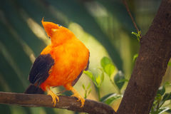 Orange colorful bird, Cotinga, Cock on the rock Royalty Free Stock Photos