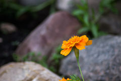 Orange colorful flowers with rocks Stock Photo