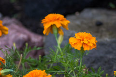 Orange colorful flowers with rocks Royalty Free Stock Image