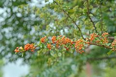 Orange coloured berries on a bough. Ripe round orange berries on an arching bough of a shrub Royalty Free Stock Photo
