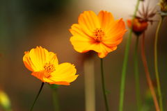 Orange coloured flower. An orange colored flower commonly scene in Kerala, India Royalty Free Stock Photo