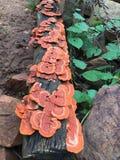 Orange coloured Jack O' Lantern Mushrooms. Growing in clusters in the woods of North Karnataka royalty free stock photos
