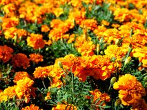 Orange flowers field background. Orange colourful flowers field background Stock Photo
