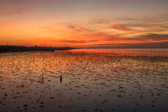 Orange colur sky over the mangrove forest. Royalty Free Stock Image