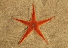 Orange Comb Starfish burying in the sand - Astropecten sp. Orange Comb Starfish Astropecten sp. overview burying in the sand and under a thin layer of clear royalty free stock photography