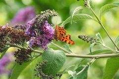 Comma Butterfly. An orange comma butterfly enjoying the nectar of buddleia flowers in Summer royalty free stock photography