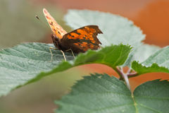 Orange Comma butterfly resting on green leaf Stock Photo