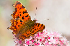 Orange Comma butterfly on Sedum flowers in fall Stock Images