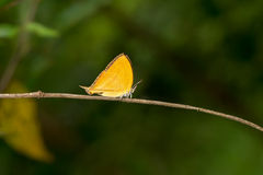 Orange common yamfly butterfly Royalty Free Stock Photography