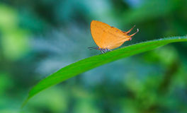 Orange common yamfly butterfly on green leaf Royalty Free Stock Image