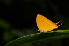 Orange common yamfly butterfly on green leaf Stock Photos