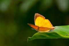 Orange common yamfly butterfly Stock Photos