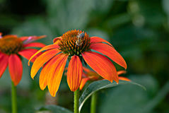 Orange Cone Flower Bee. Bee forages on top of florets of Orange Echinacea Cone Flower Royalty Free Stock Image