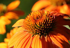 Orange Cone Flower in Early Morning Light. Macro of an orange cone flower in early morning light, with orange bokeh and dark green background royalty free stock photo