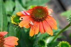 Orange Coneflower Echinacea Stock Images