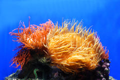 Orange coral Royalty Free Stock Photography