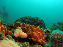 Orange coral with diver Royalty Free Stock Photo