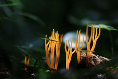 Orange coral mushroom Stock Image
