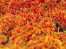 Orange coral Royalty Free Stock Images