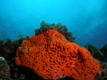Orange Coral reef. I took this image at barracuda reef in Dania, Florida. It is briget orange coral at about 30 feet Stock Photo