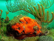 Orange Coral and Sea Rod Royalty Free Stock Photos