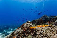 Orange coral and sponges on coral reef in Caribbean Stock Photos