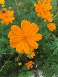 Orange coreopsis. In full bloom stock image